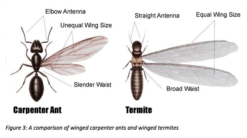 Carpenter Ant Vs Termite
