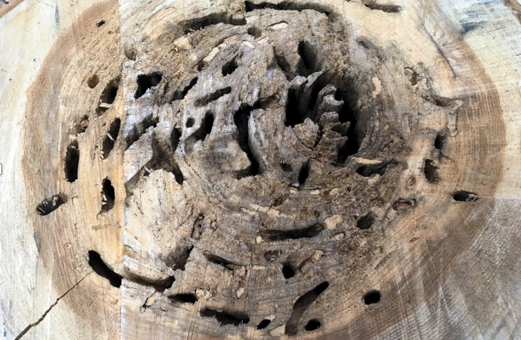 Ant tunnels in wood