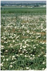 bindweed field