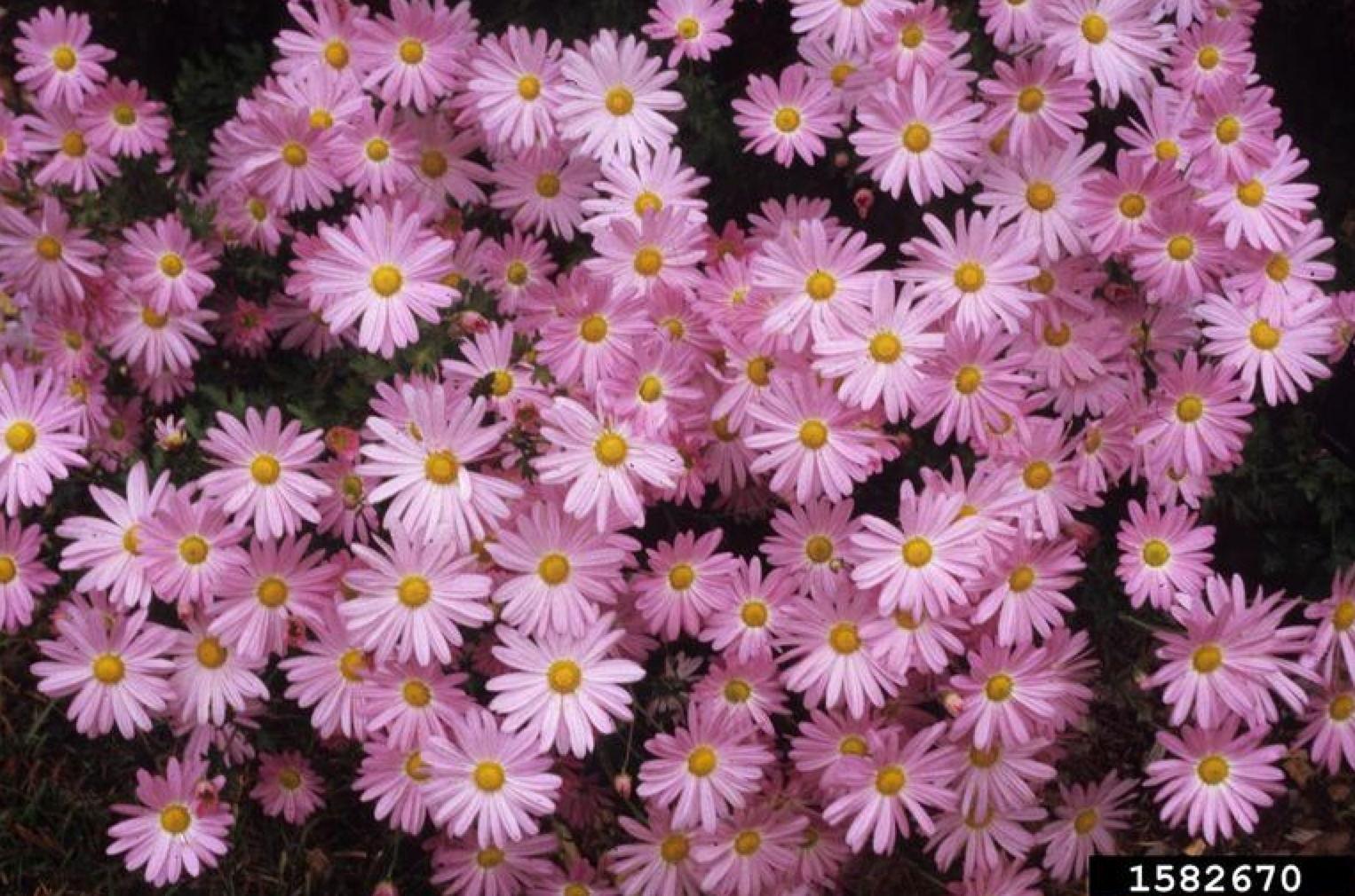 Chrysanthemum Community Environment Nebraska