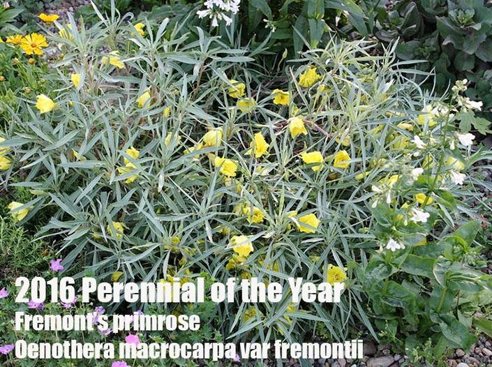 Fremont Primrose