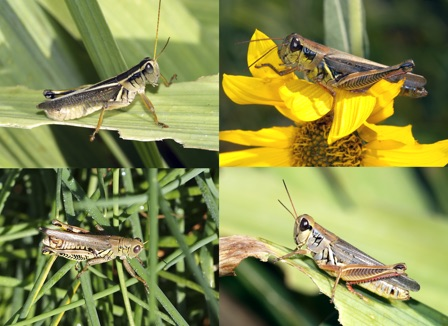 The four main pest species of grasshopper in Nebraska. Top row (left to right) two striped grasshopper adult, red legged grasshopper adult. Bottom row (left to right) differential grasshopper adult, migratory grasshopper adult. Photos courtesy of UNL Insect Identification Laboratory.