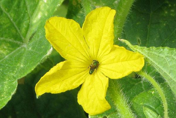 Pollination in the Garden, Nebraska Extension Acreage Insights for July 2, 2018, http://communityenvironment.unl.edu/pollination-garden