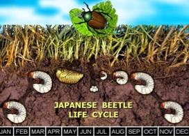 Pest Of The Month Japanese Beetle Nebraska Extension