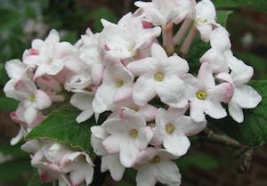 Plant of the month koreanspice viburnum community environment plant of the month koreanspice viburnum mightylinksfo
