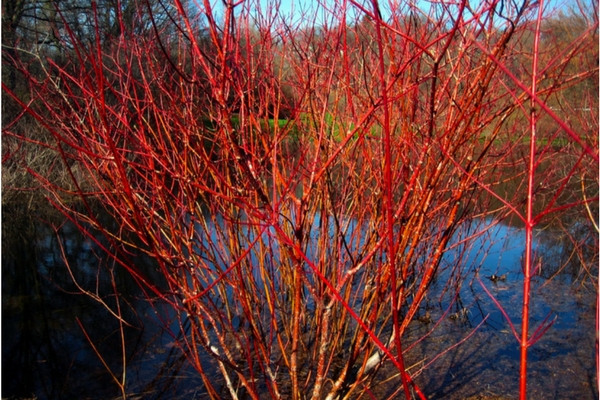 Red Twig Dogwood, Acreage Insights - February 2018, http://communityenvironment.unl.edu/plant-month-red-twig-dogwood