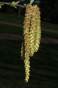river birch catkins