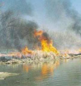 burning Phragmites