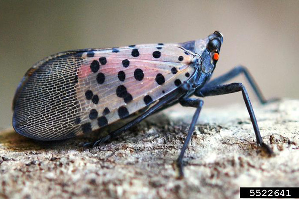 Spotted Lanternfly, image from Pennsylvania Department of Agriculture