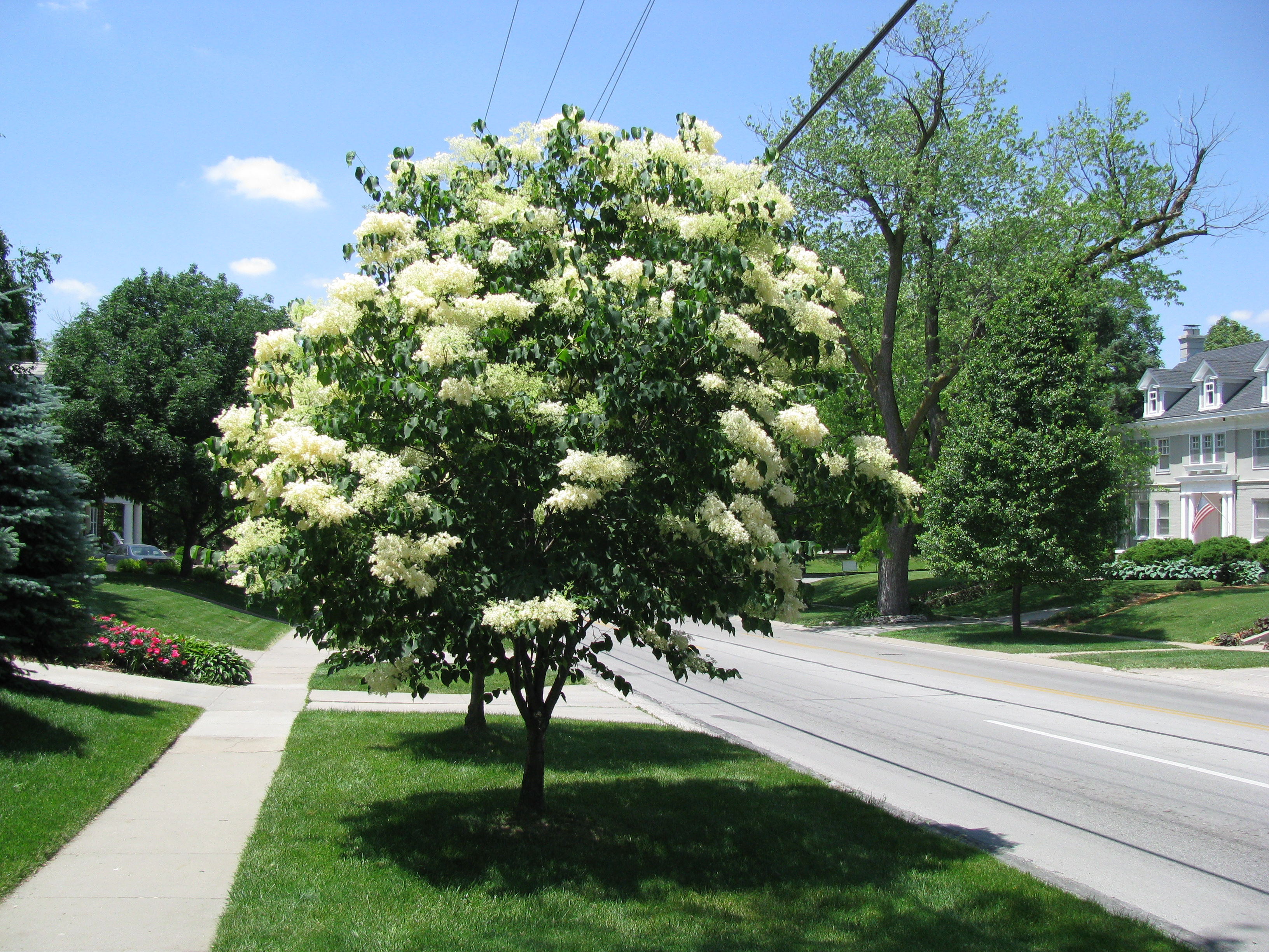 Plant Of The Month Japanese Tree Lilac Nebraska