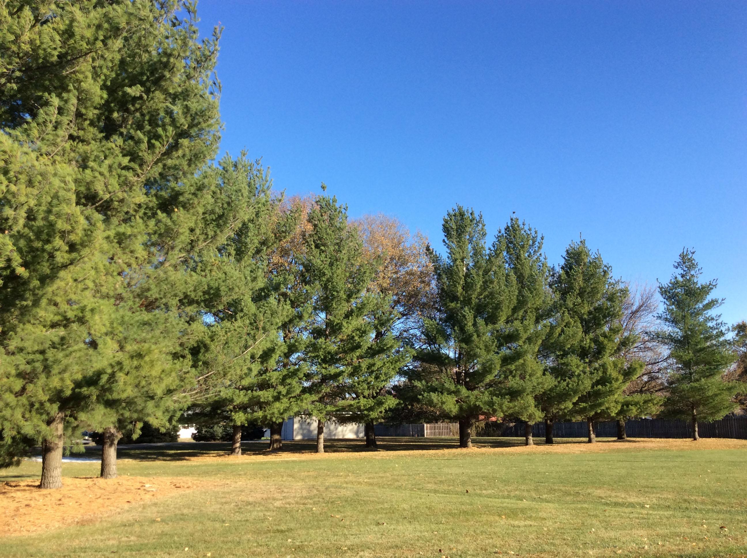 Eastern white pine in an urban windbreak. Windbreak Design & Management, 12/2020