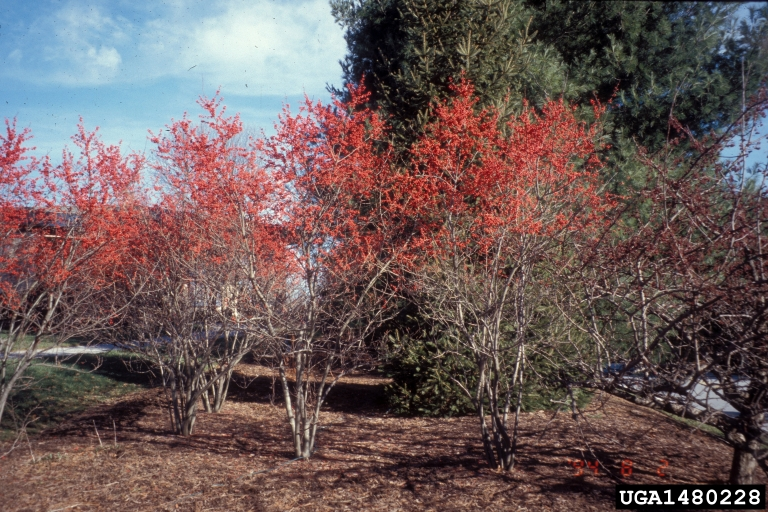 The photo of Winterberry is from Richard Webb, Bugwood.org