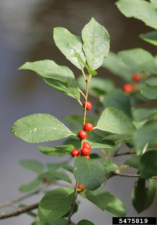 The photo of the leaves and berries of Winterberry is from Rob Routledge, Sault College, Bugwood.org