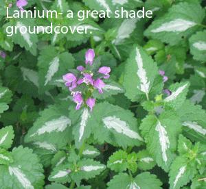 Lamium
