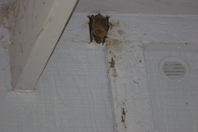 Bat in eaves of home