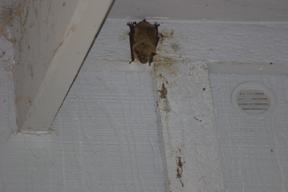 Bat in eaves of home