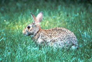 Cottontail Rabbit, Nebraska Extension Acreage Insights for February 2018, cottontail-rabbit