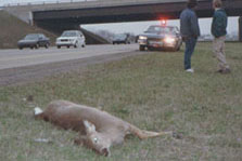 deer that collided with car