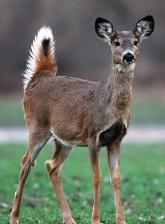 white-tailed deer