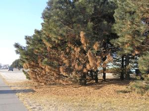Pines with Diplodia Blight of Pine