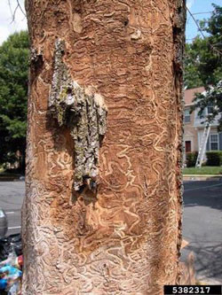 Bark of a tree infected by emerald ash borer.