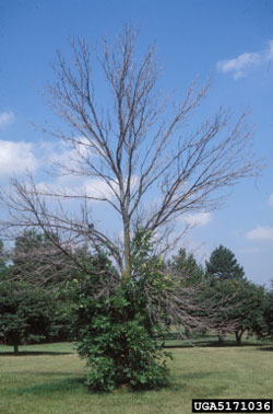 Tree infected by emerald ash borer.