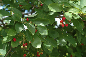 juneberry fruit