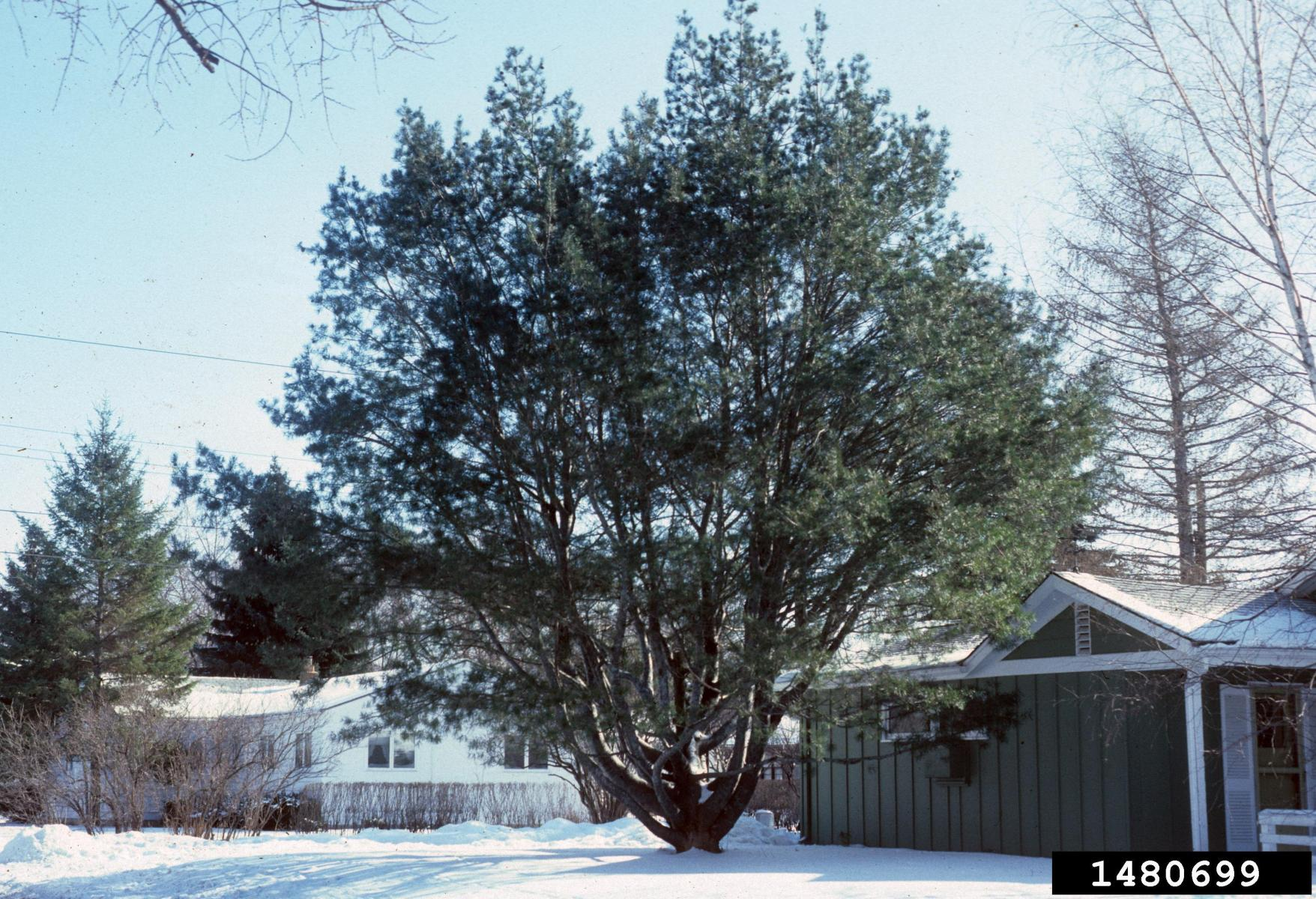 The photo of the Lacebark pine on the left is from: Richard Webb, Bugwood.org