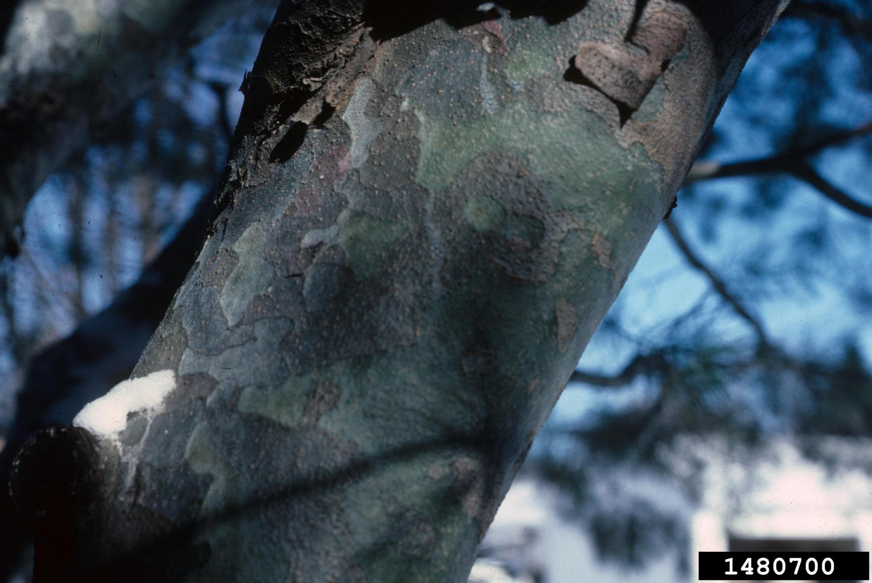 The photo of the bark on Lacebark pine on the right is from: Richard Webb, Bugwood.org