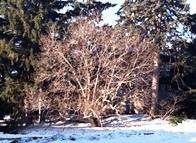 Magnolia tree in winter