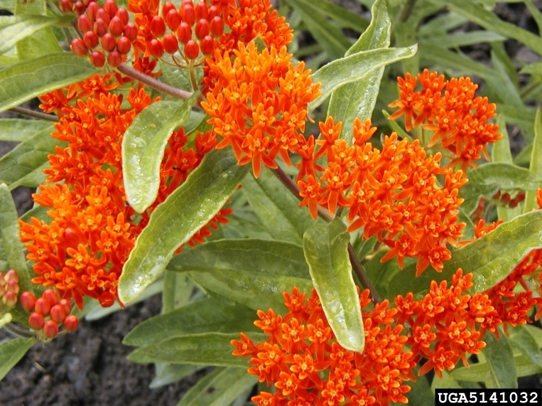 Butterfly milkweed, photo from the Dow Gardens Archive, Dow Gardens, Bugwood.org.