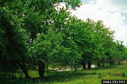 Hedge Apple tree row