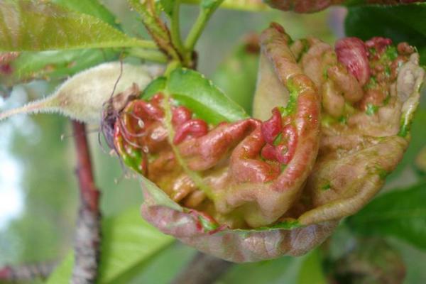 Single leaf with symptoms of Peach leaf curl