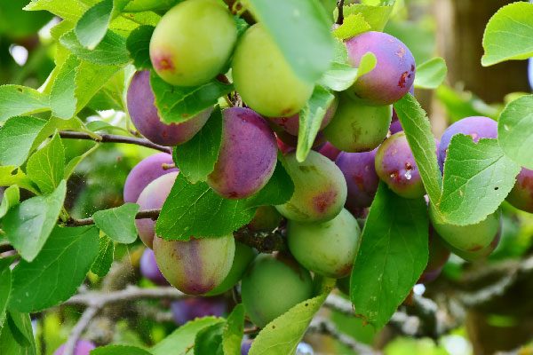Growing Fruit Trees in the Midwest, Nebraska Extension Acreage Insights for August 1, 2018, https//communityenvironment.unl.edu/growing-fruit-trees-midwest