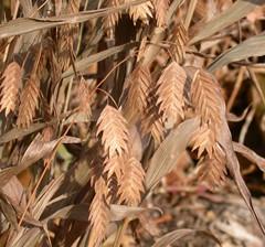 sea oats in fall
