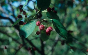 serviceberry fruit