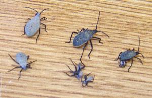 Immature squash bugs