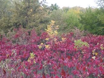 Sumac in Fall