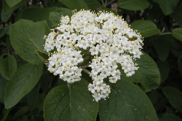Wayfaring Tree Viburnum, Acreage Insights - May 2018, http://communityenvironment.unl.edu/plant-month-viburnum-lantana