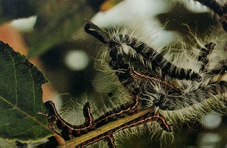 walnut caterpillar