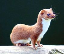 Least Weasel, Acreage Insights for January 2018, http://communityenvironment.unl.edu/least-weasel