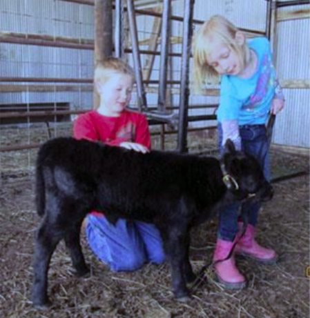 Richardson County youth work with a Lowline calf in preparation for fair.