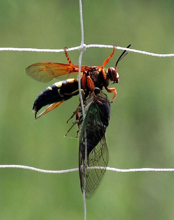 Solitary Wasps - August 2018, Acreage Insights August 2018, https://communityenvironment.unl.edu/fence-august-2018