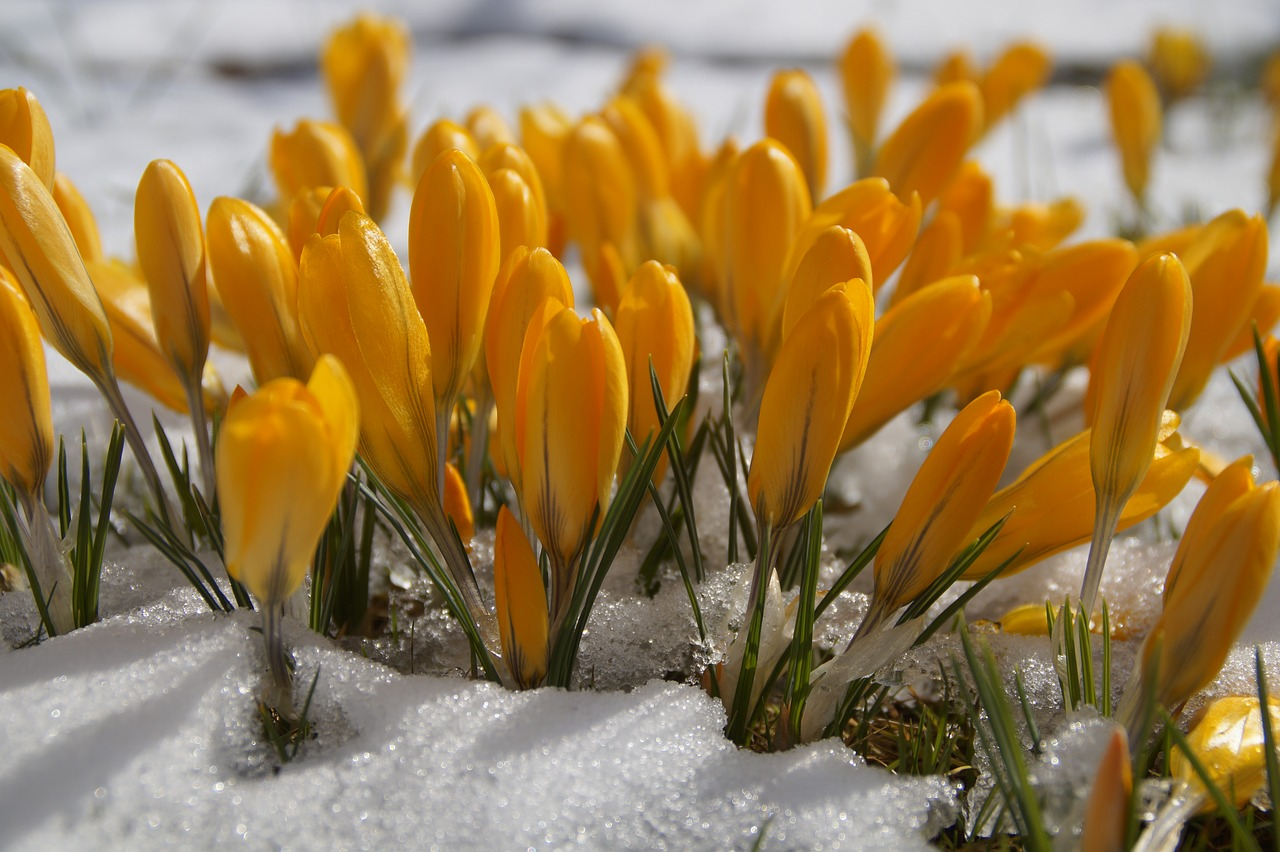 Yellow flowers growing in the snow.