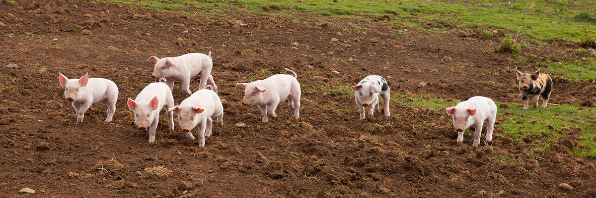 image of pigs in field