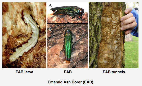 Collage of EAB adult, larvae and tree damage.